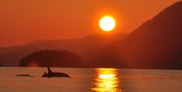 orca_salish_sea_sunset_small